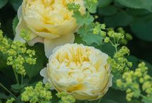 English garden / rose bushes make a statement in an English garden why not name one after a loved one