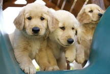 Goldens & Honorary Goldens / by Cheryl Ritchie