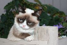 Grumpy cat / Animal