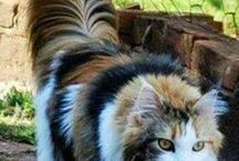 Maine Coon Critters