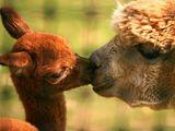 Animals: Llamas and Alpacas
