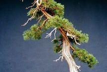 Sargents juniper