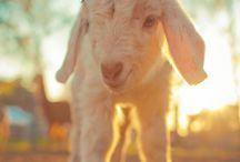 I want a goat!