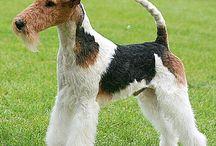 Fox terrier wire
