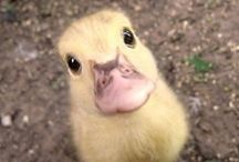 I want one / It started off with a duckling.