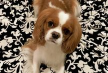 Cavalier King Charles Spaniels | My Canine Kids | Cloak & Dawggie / My Canine Kids, Cloak & Dawggie.