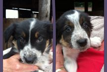 Monty & Willow our Border Collie pups / Border Collie