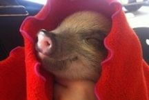 Pigskin