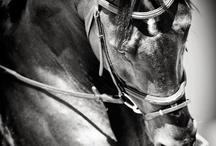 Horses / Chevaux