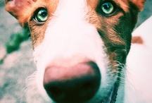 Ibbejä ja muita koiria / Ibizanpodencoja ja muita koiria