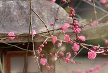 chinese and japanese blossom cherry