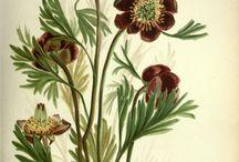 ✽✽ Vintage Botany Illustrations / Vintage Botany Illustrations