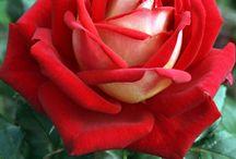 Rose...So pretty