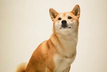 race de chien japonaise