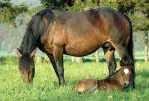 Le Barraquand / Le cheval Barraquand (ou cheval du Vercors) est sélectionné par les communautés monacales au Moyen Âge. Les premiers écrits concernant ce cheval nous viennent de 1760 de l'Abbaye de Léoncel.
