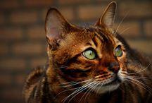 Raskatten / Katten van een bepaald ras