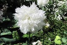 flor de Malta