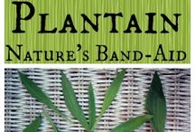 THE WEED PLANTAIN IS A POWERFUL MEDICINE - PLANTAIN IS NATATURES BAND-AID