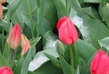 Tulipad