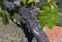 Vino di Liguria | Wine of Liguria