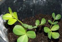 Как выростить земляной орех