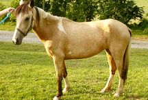 Buckskin Chincoteague Ponies