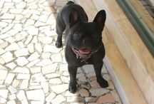 My french bulldog