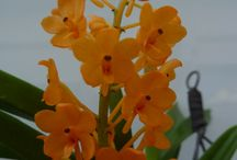 Vandaceae