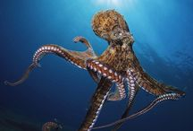 octopuses