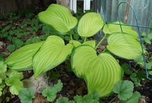 My hosta garden / I love to fill the shady outdoor areas around my home with hostas.