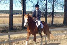 Welsh cob / Horses, sports and dreams