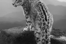 the magestic snow leopard