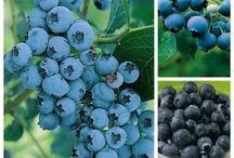 Garten / Blaubeeren