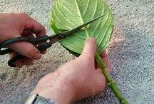 formere planter, avlegger
