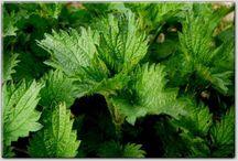 Herbalismus