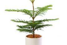 Cemara / Semua tanaman dalam board ini bisa dikirim keseluruh Indonesia, silahkan order ya, tel: 0341-599399 I SMS center: 08569020300 atau kunjungi website kami www.kebunbibit.id