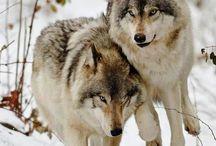 Fauna - Волки