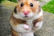Criceti Hamsters BANNY