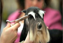 Miniature Schnauzer Grooming / Miniature Schnauzers look awesome professionally groomed.  It takes quite a bit of experience to groom a Miniature Schnauzer properly.  Most groomers do not know how to properly groom a Miniature Schnauzer, but at Reberstein's we do.  We are accepting new grooming clients so give us a call and let's make your dog look like a star.  We professionally groom show quality and pet quality Miniature Schnauzers by appointment only.  Please visit our website at http://www.loveschnauzers.com