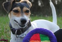Russells LOVE / Jack Russell Terrier