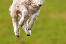 O we like sheep / ... and goats. Make that, we like woolly critters.  / by Sheila Durno
