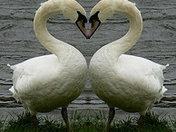Swans ~ Mates for Life
