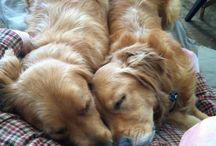 Golden Retriever Lover
