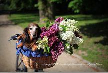 Animals - dachshund - moje foto