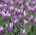 Lavender with love
