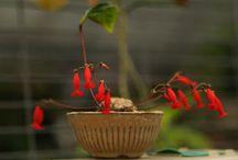 Gesneriaceae / rostliny čeledi gesneriaceae