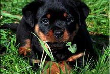 Rottweiler..best dog ever / by melani petty