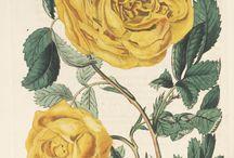 Ilustración rosas / by José Langella