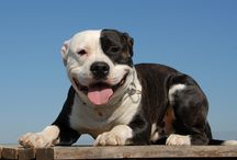 Pit Bull / Everything you wanted to know about Pit Bulls.