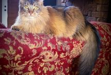 HOLLYWOOD  / Brown Tabby Maine Coon Cat / by Angela Williams